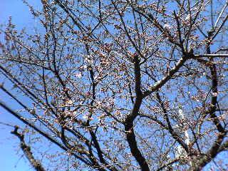 20060320_sakura.jpg