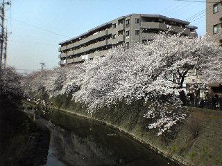 20060401_sakura1.jpg